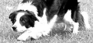 Cache Creek Vet, Black And White Dog, Dog