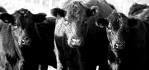 Cache creek Vet, Cattle, Cows, Black And White